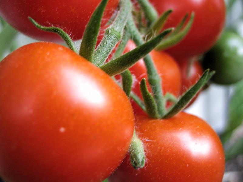 premières tomates du jardin