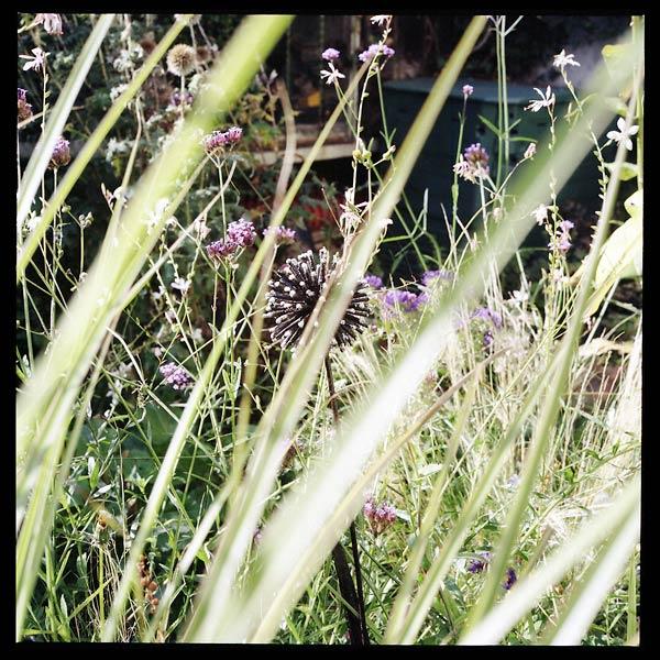 echinops ferrifère