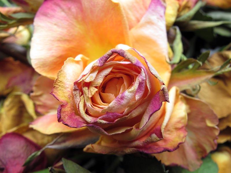 rose génétiquement modifiée