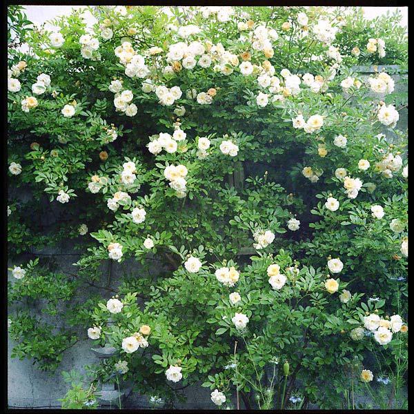 quand le rosier était en fleur