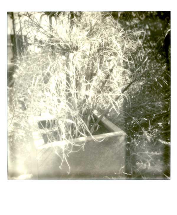 papyrus dans le jardin