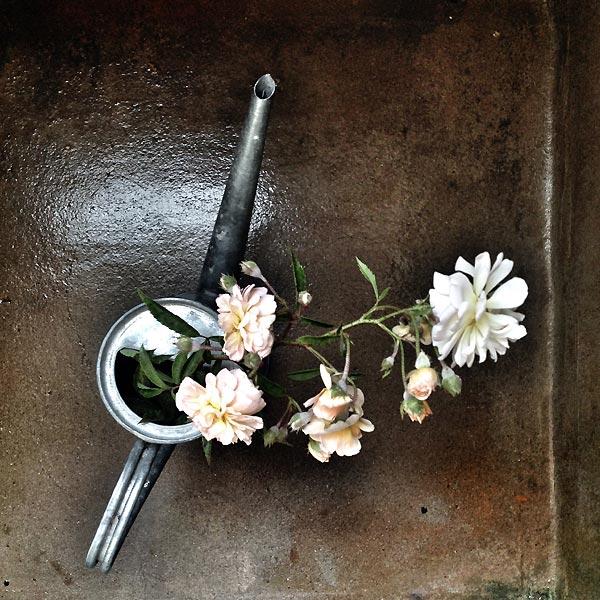 roses dans arrosoir