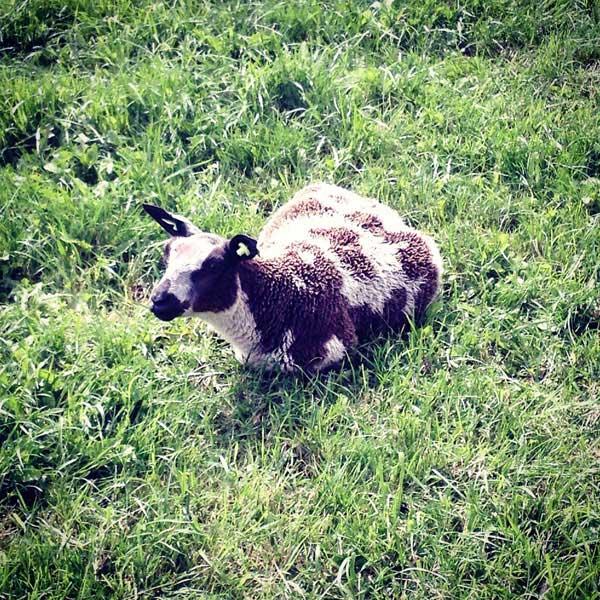 un drôle de mouton