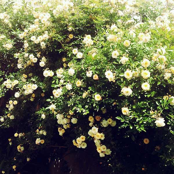 le rosier de ghislaine de féligonde est en fleurs
