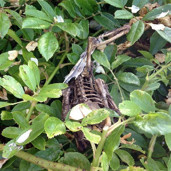 cadavre de pigeon