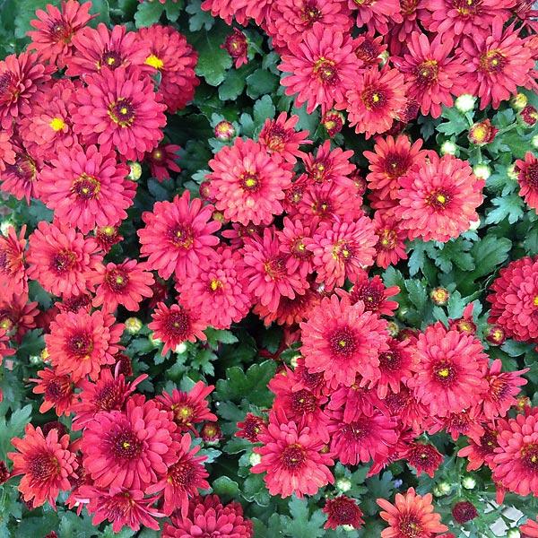 chrysanthème garden mums