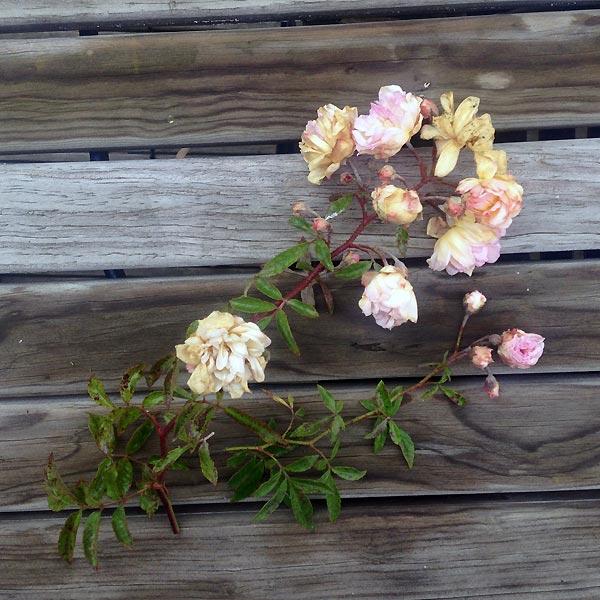 roses fanées sur bois