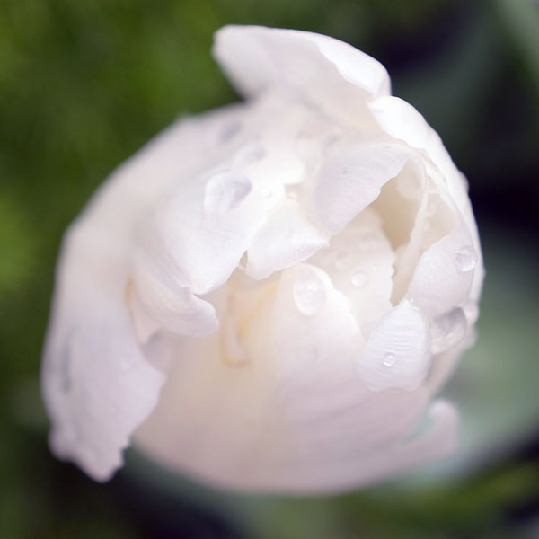 tulipe blanche après la pluie