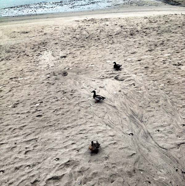 canards sauvages ont faim