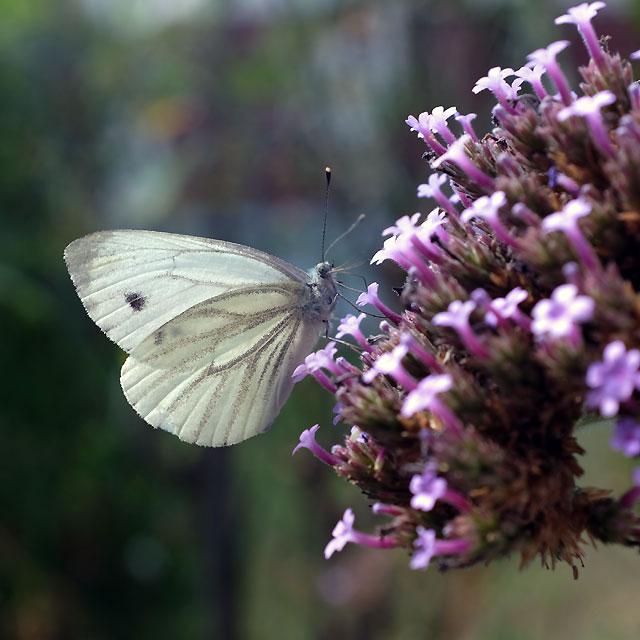 petit papillon sur fleur