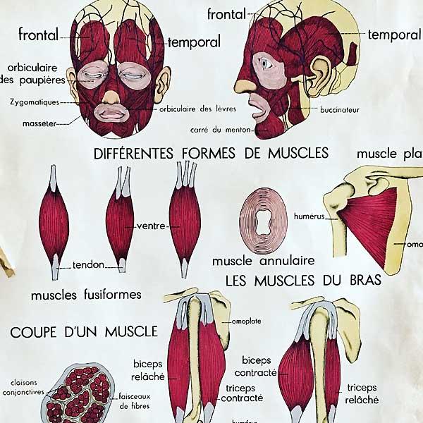 les muscles chez le kiné
