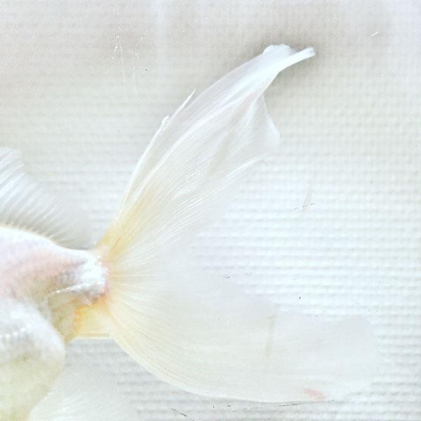 poisson volant ou non dans aquarium bien trop petit
