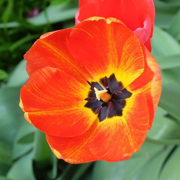 l'une des tulipes du jardin