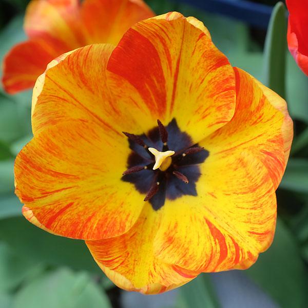 une autre tulipe du jardin