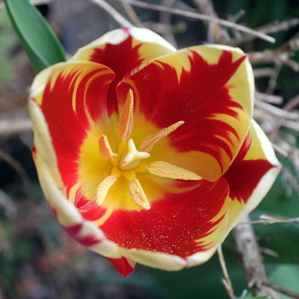 une dernière tulipe du jardin