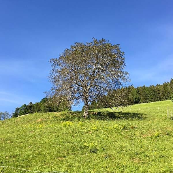 arbre dans un pré